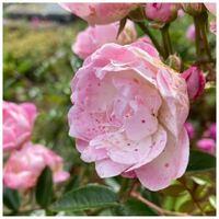 バラの花びらをよく見ると丸いポツポツがたくさんあります。病気でしょうか?雨負けですか? 葉っぱは元気に緑色をしています。