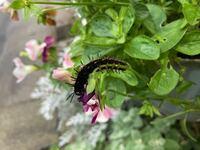 教えて下さい。 この幼虫は害虫でしょうか? 綺麗な蝶の幼虫なのかな、、と思って、、、 駆除した方がよいでしょうか?