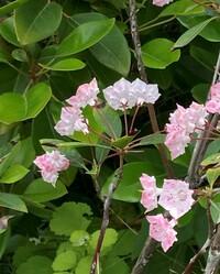この可愛らしい花の名前を教えてください。 花壇に植えられた状態で1メートルちょっとくらいの木で、花の角度が悪くてよく見えませんが、確か花びら一枚ずつに点々模様が付いてました。