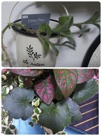 ダイソーで観葉植物を買いましたが、植物の名前がわかりません。 わかる方、教えていただけると助かります。 ※上の植物は、ムラサキオモトと表記されてますが、検索した結果のものと違う植物に見えます。これは同じ植物なのでしょうか?