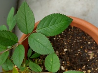 ミニバラの葉に白い点々が出ているのですが、何かの病気でしょうか? 粉っぽい感じではなく、葉緑素が抜けたような感じです。葉の裏には異常はみえません。