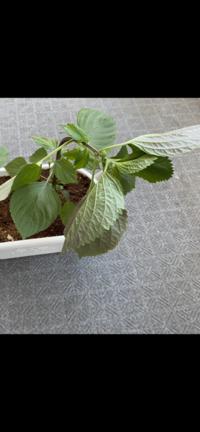大葉のプランター栽培について。 ベランダで種から育てたのを失敗してしまったので大葉の苗を買って育てていますが昼間は元気だったのに先程みたら茎からぐにゃんと萎えていました…原因がわかるかたいますか?( ; ; )