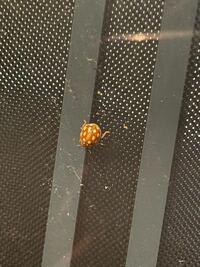 これっててんとう虫ですか?? なんていう種類のてんとう虫でしょうか?