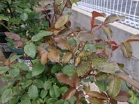 ダブルノックアウト薔薇に付いてです。 病気に強いと言われて今年4月に購入しましたが一番花終わって先週植え替えしました。 昨日見たら葉が変です。何か病気でしょうか? 強いと言われても他の薔薇と同じく薬剤散布しています。 先週植え替える前に最後の薬剤散布はオオソサイドとスミチオンでした。  葉は殆ど新芽の柔らかい葉だけが錆びてる感じです。ですが葉の裏は何も無いんです。  ほっておいても大丈夫でし...