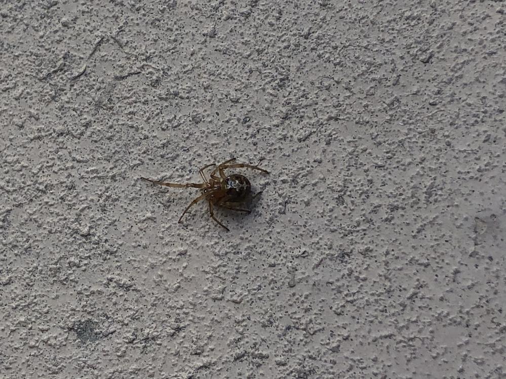 このハイイロゴケグモや、セアカゴケグモに似ているこいつはなんて蜘蛛ですかね???