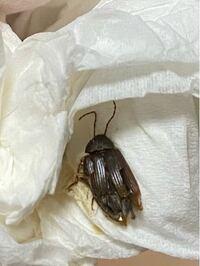 ※閲覧注意(虫) 先程部屋にこんな虫がいたのですがこれはゴキブリの赤ちゃんか何かですか?