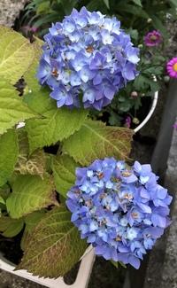 鉢植えしているアジサイ(霧島の恵み)が、やっと色付いたと思ったら、翌日には花びらが茶色く枯れていました。葉の色も悪い気がします。 屋外の日当たりの良い場所に置き、乾燥しないよう水やりをしていたつもりですが、病気でしょうか?アドバイス頂けると助かります。よろしくお願い致します。
