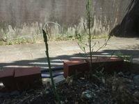 アスパラガスについて教えて下さい。 4年目のアスパラです。 今年に入ってもうかなり収穫してきましたが 最近は細いものや、形が綺麗じゃないものが多くなってきました。  現在、写真の右側のように土から出て来るや枝状になっているものもあります。 写真の左側は今までと違って細めです。  そこで教えて頂きたいこと。 ①土から出て来るや枝状になるその原因 ②細くなってきたのは収穫が終わりに近づいているか...