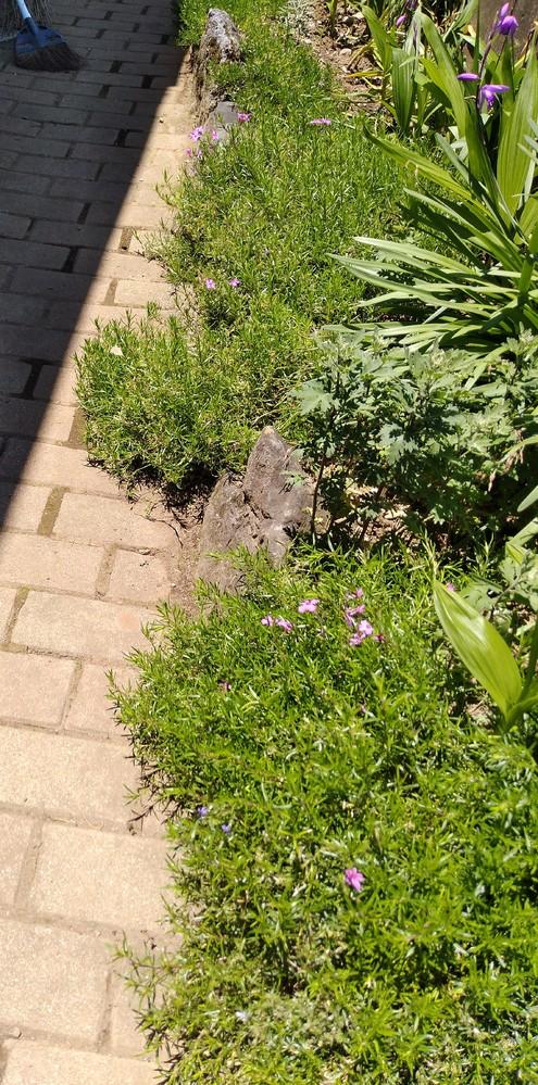 芝桜の剪定 写真のとおり、通路まで芝桜が伸びてしまいました このままでは踏まれてしまうので、垂れ下がった部分をカットして別の場所へ移植したいです 時期と方法、植つくコツなどを教えてください よろしくお願いいたします