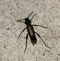 何という虫でしょうか。 カミキリムシかと思いますが。