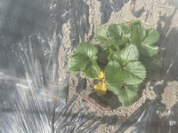 家庭菜園です。ベリーですが、下が黄色いです。三日前にはメロンが旅立ちました。どうしたら良いでしょうか?