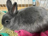 写真のウサギはネザーランドドワーフでしょうか? 生後3ヶ月でペットショップで購入して血統書などは無かったのですが、ネザーランドにしては体が大きく耳が長いような気がしたので気になりました。 現在生後1年3ヶ月で1600gぐらいです。