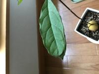 アボカドを水耕栽培で育てました。 木が20センチになり、葉も6枚になったので 1週間前に鉢に植え替えました。 3日前から葉のまわりが茶色くなってきてしまいました。いつも土に植え替えると枯れてしまいます。 今からまた復活させることはできますか?