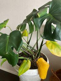 モンステラが急に葉が黄色くなるようになりました。 新しい芽も、生えてきては黒くなり、対処方法をご教示いただけないでしょうか。