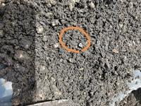 家庭菜園をしていますが、 今年コガネムシの幼虫が多発し 根こそぎ苗が食べられてしまっています。 質問ですが、畑を掘り返した所 白から透明色、1mm未満の細いみみずの様な 虫も大量に出てきているのですが これはコガネムシの幼虫の元なのでしょうか‥  ご存知のかた教えて頂ければ幸いです。
