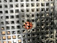 よく見るてんとう虫の倍くらいの大きさがあります、何と言うてんとう虫ですか?