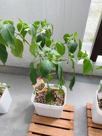 唐辛子とししとうのプランター栽培をしていますが、葉がだらーんと垂れています。 夜になると元気になるのですが、何か病気でしょうか? 青枯病という病気が近い気がしますが2週間くらい同じような状態で枯れる気配はありません。