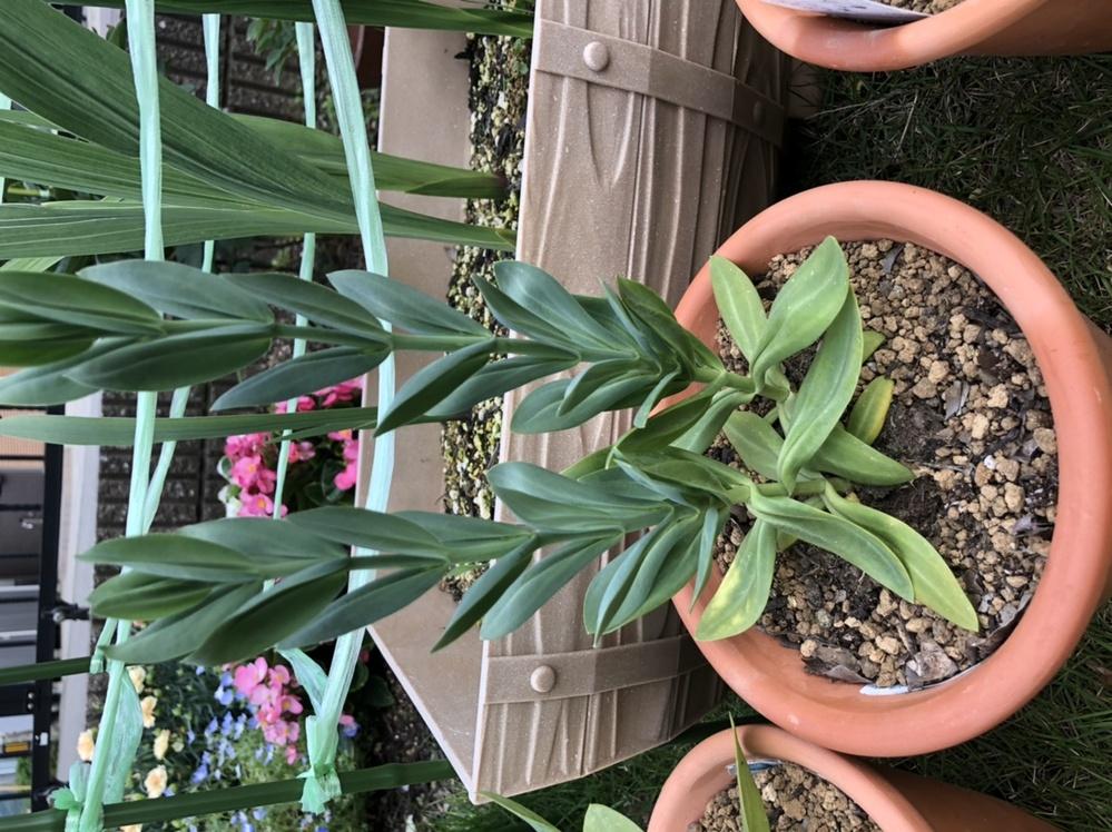 トルコギキョウです。 まだ花は咲いてませんが、根元の方の葉が黄色くなってきました。 肥料不足が原因でしょうか? どなたかご教授いただけるとありがたいです。