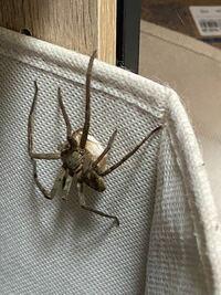 家に蜘蛛がいました。 何という種類の蜘蛛でしょうか? 体に白いものをくっつけているようですが、これは何でしょうか? ご回答、よろしくお願いします。