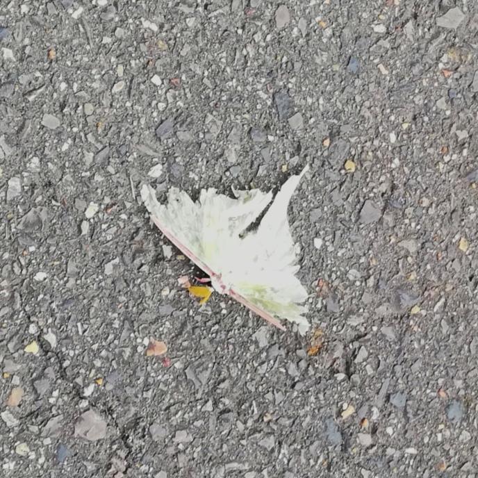 この虫みたいなの何かわかる人いますか? ジリジリって蝉みたいにジリジリしてました。妖精かと思いました。