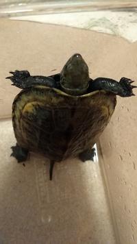 亀を拾いました。亀の種類と飼育注意点など教えていただけませんか?