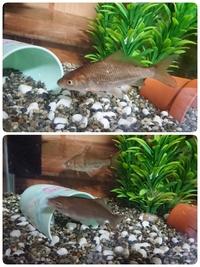 フナの種類、これからについて 4月に琵琶湖に流れる川(ほぼ琵琶湖)でガサガサをして捕まえたフナを飼育しています。 フナの中のなんという種類でしょうか?種類が多くて判別できません(笑) また、上部フィルター付60cm水槽で飼育していますが、何センチくらいまで成長するでしょうか。  小さいゴリ3匹、アメザリ2匹(小さい、中くらい)、カワニナ×3と混泳させています。  ゴリとは今のところ問題ないよ...