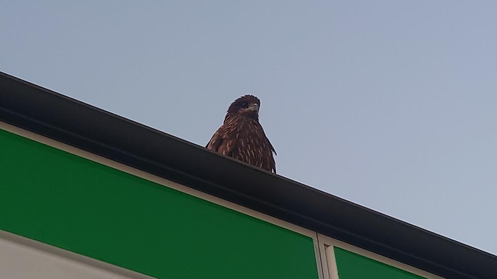 会社からの帰りによったコンビニの入口でこの鳥が門番の様に鎮座して愛嬌を振りまいていました 鳶かなと思ったのですが画像検索してみた鳶より目が大きい様にも感じます この鳥は鳶で間違い無いでしょうか