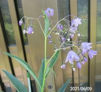 園芸種の名前を教えて下さい、 岐阜県美濃加茂市で、 撮影20210609