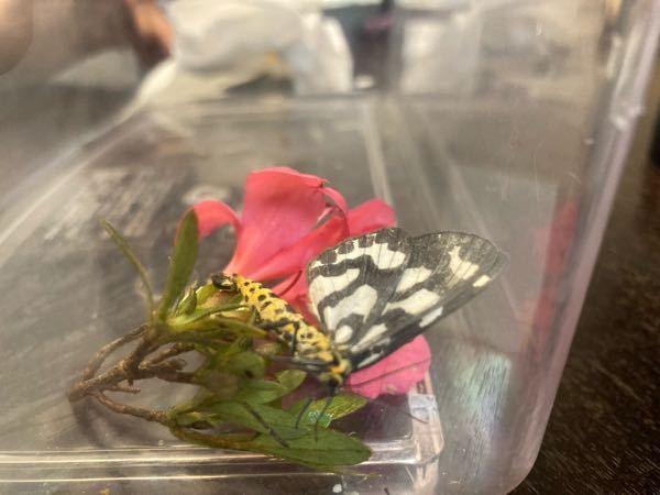 この蝶(蛾?)は何という名前ですか? 家で飼うことはできますか?