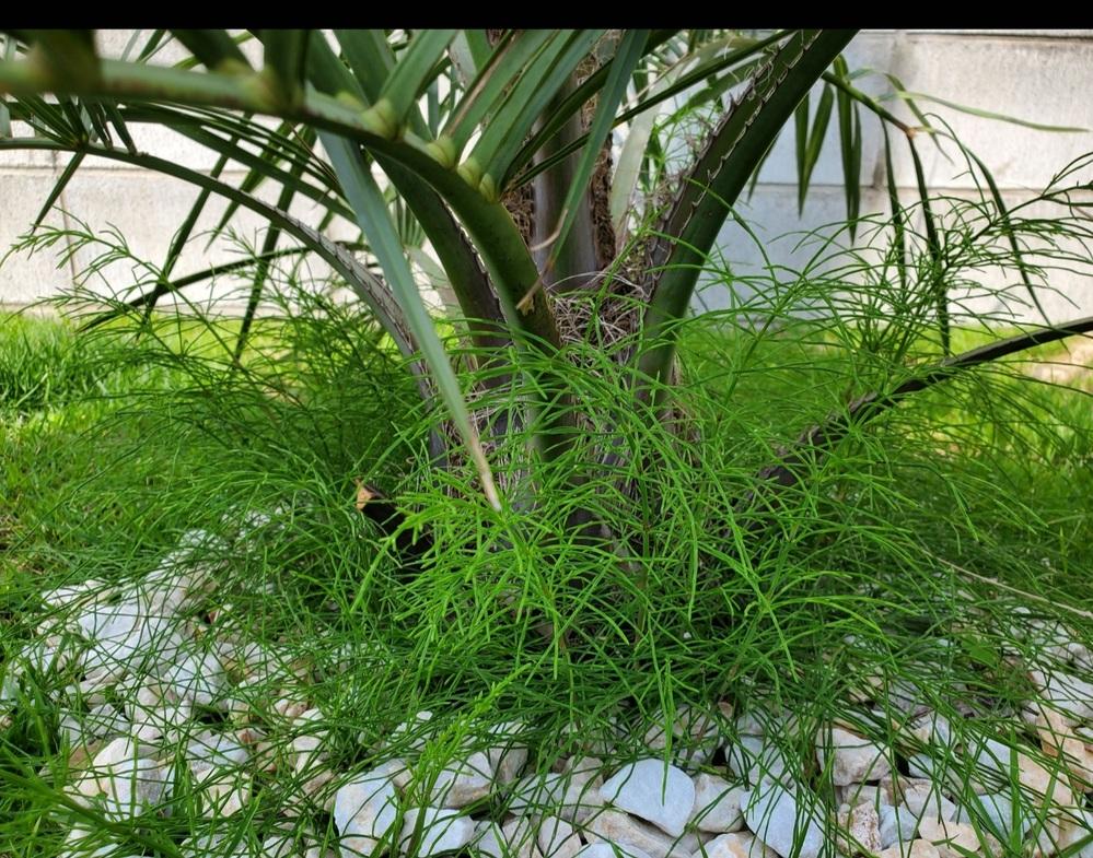 ココスヤシを植えたら、すぐ根元からこのような緑の何かがはえてきてまして、根っこでもなさそうなので、何か知りたいです。 わかる方いらっしゃいましたら教えてください