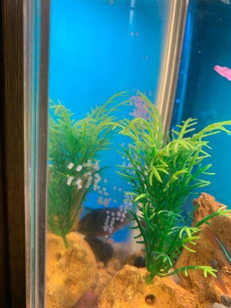 水槽の中には ミッキーマウスプラティ 1匹 コリドラス 1匹 ネオンテトラ 複数匹 います。 この間 ふと見ると 水槽の横の壁の所に 薄ピンクの卵がついてました。 水槽を良く洗い 数週間 また 薄ピンクの卵らしきものが 壁についてます。 これ 何か分かりますか?