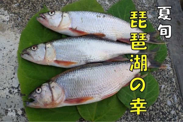 琵琶湖でケタバス釣れてますか?
