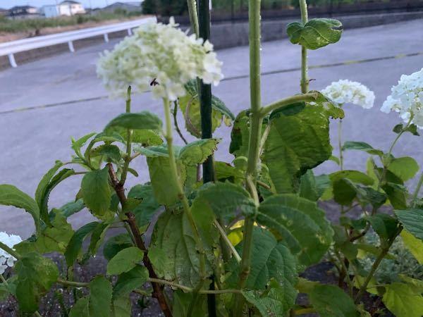 うちのアナベル です。 葉や花が一部茶色くなってたり、葉が欠けたり減ってしまってます。 病気でしょうか? 救済できる方法を知ってる方、お知恵お願いします。
