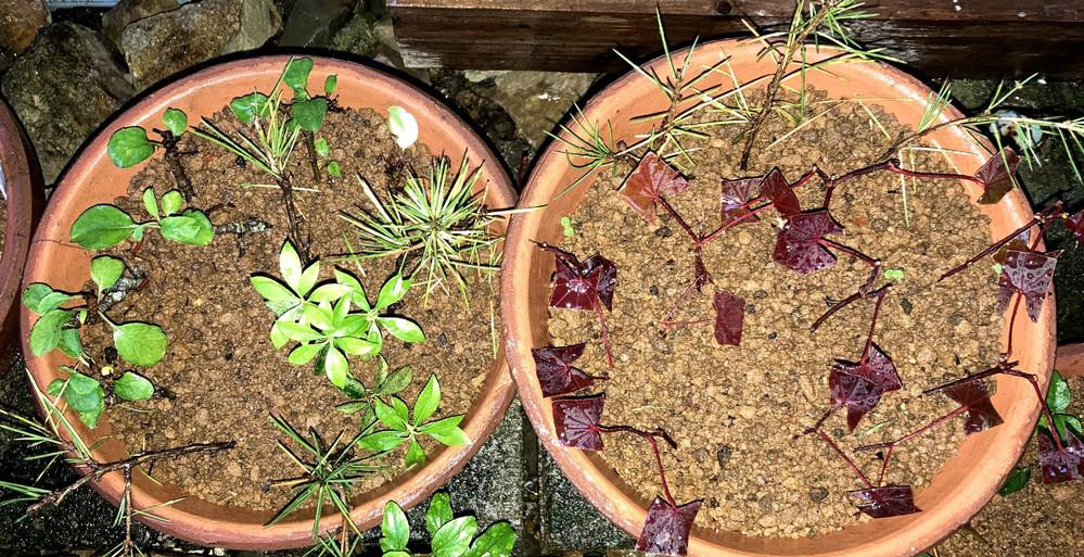 5月上旬に野村もみじ、姫りんご、ヒマラヤ杉の挿し木をおこないました。 4週間経過して今のところ元気ですが、発根しづらい植物との情報を目にしましたので、鉢上げは来年の春を予定しております。 本で読んだ情報だと、2~3月に鉢上げをして根付いてから肥料をあげると書いてありましたが、それまで肥料をあげなくても枯れてしまわないのでしょうか? 肥料のあげ方(種類や時期など)や鉢上げの時期など、アドバイスをお願いします。 私の住んでいる地域は、冬はほとんど雪の積もらない温かい地域です。
