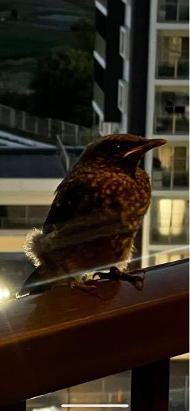 鳥に詳しい方 この鳥はなんて言う名前の鳥でしょうか。 最近ベランダに良く止まります。 逃げもせず人になれているような感じがするのですが.....