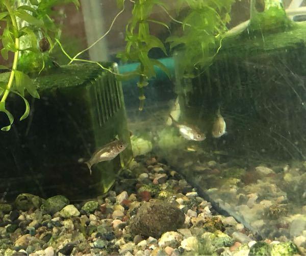 これってメダカですか? 祖父の家のメダカの水槽で稚魚が生まれたから水槽分けたらしいです。 でも全然メダカには見えないです… 本当にメダカですか? それとも違う魚ですか? 元々の水槽にいる魚は確かにメダカのよ うですが、この稚魚の形の魚はいません。 どういうことなんでしょうか?! 自然発生するとは思えませんし; 小さくてピントが合わずみにくい写真ですいません…