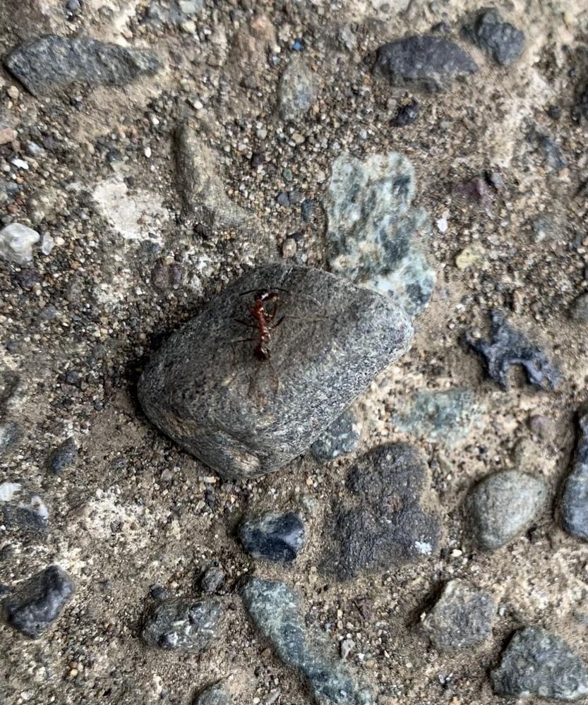これはどんな種類のアリですか?わかる方おねがいします