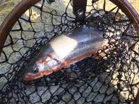 渓流釣り初心者です。 東北の渓流釣りで2週間前に釣ったこちらの画像の魚ですが、なんという種類でしょうか??ちなみに餌釣りで、サイズは29センチでした。ネットで調べたのですが、種類が複雑で判別できませんでした、