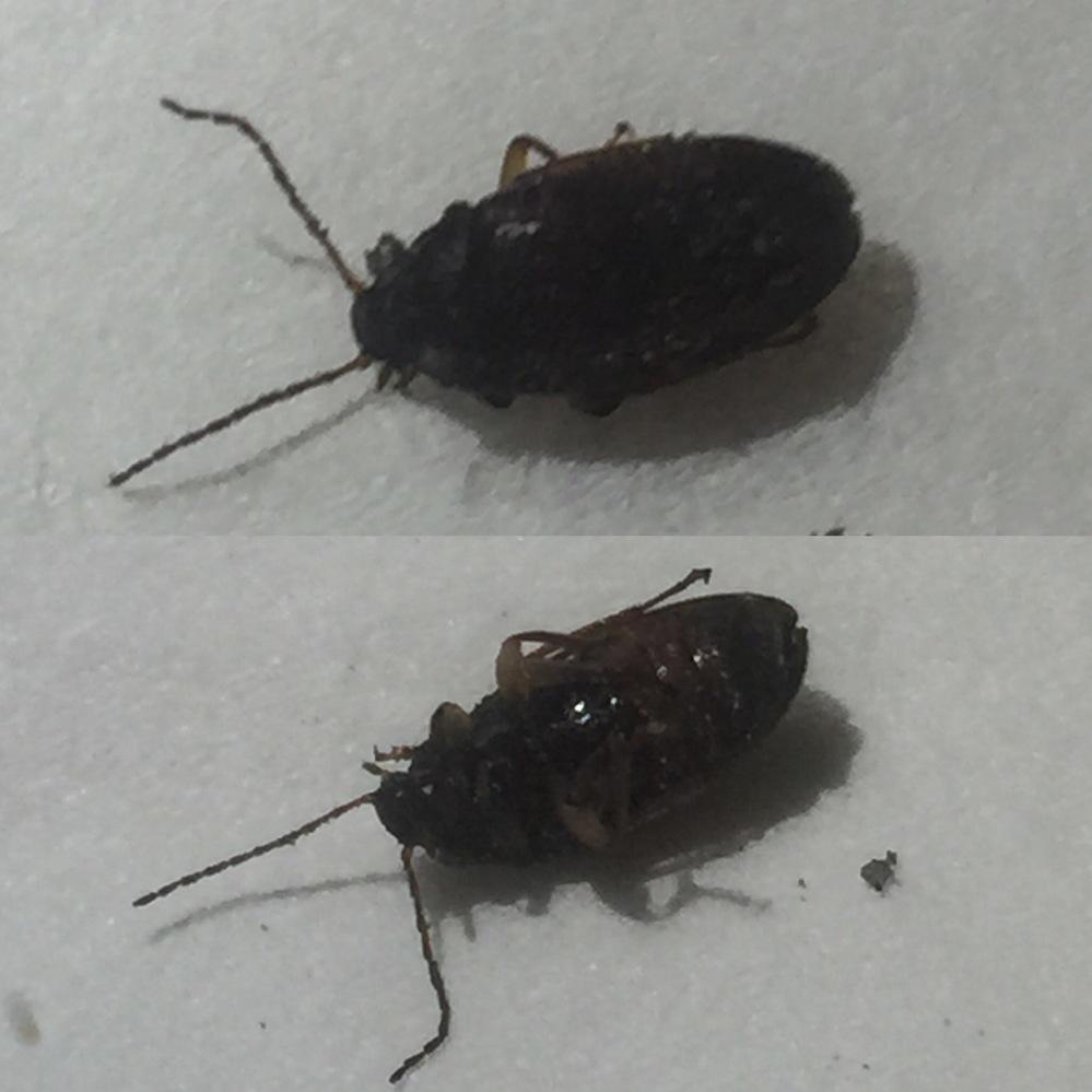 これはゴキブリでしょうか? 出窓のカーテンにいて駆除しました。 15年程住んでおりますが、初めてみる虫です。 マンションで、高さは30m程。 体長6〜7mm(触覚部分含まず)