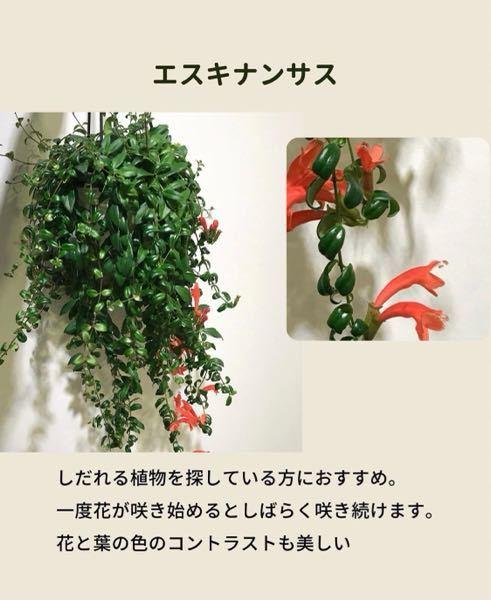 この観葉植物は、どの種類のエスキナンサスでしょうか?