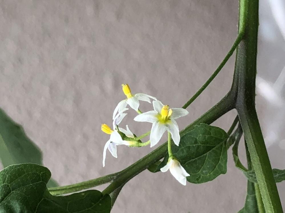この植物の名前を教えてください。 別の植物を育てているプランターに生えてきました。 最初は冬野菜の発芽しなかったやつかな、とほったらかしにしていたらぐんぐん伸びて、逆に興味が出てきたので放置していたら黒い虫(アブラムシ?)がびっちりついていてゾッとしました。 処分しようにもなんていう植物か気になるので解決したいです。 「白い花 野草」でネット検索してもそれと思しき画像が見当たりませんでした。