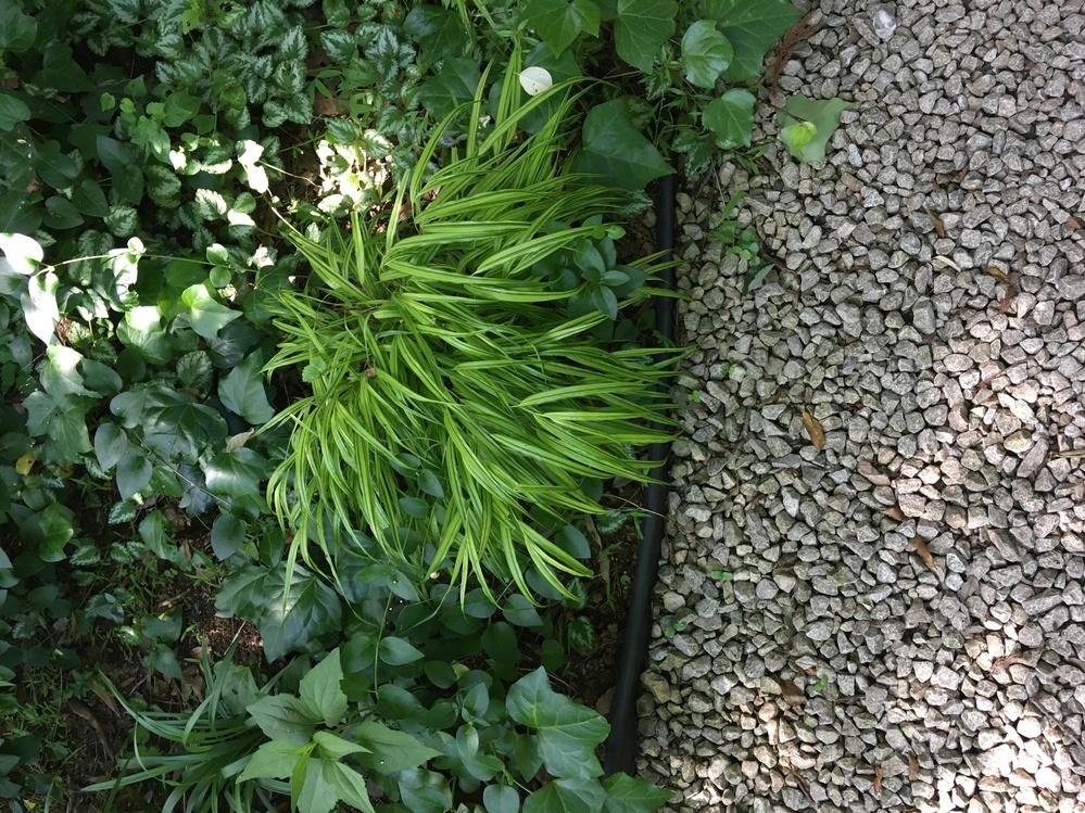 この黄緑の細い葉っぱはフウチソウでしょうか。