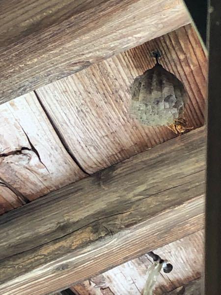 【至急】 この蜂って何バチなんでしょう、、 家の屋根のとこに巣を作っていて、、