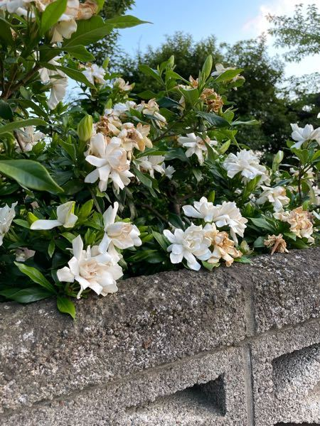 この花はなんで名前ですか? 最近いい匂いがすると思ったらこの花からしてました。名前が知りたいです。