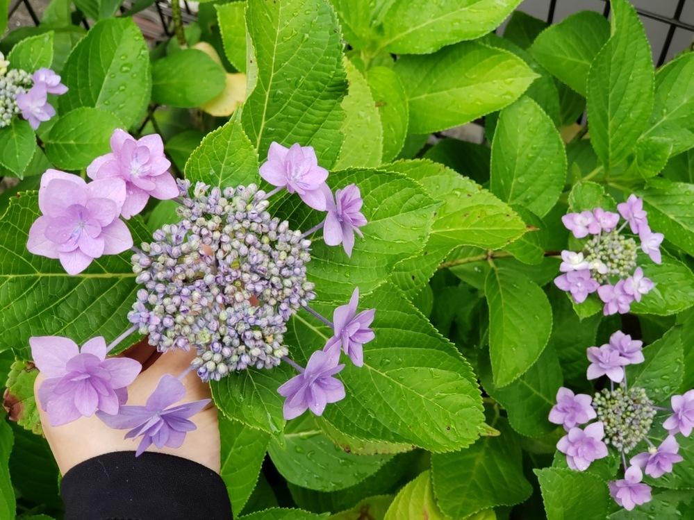 引っ越した先のあじさいなのですが、このあじさいの真ん中にある蕾は、周りのピンクの花と同じように咲かないのでしょうか? よろしくお願いします。