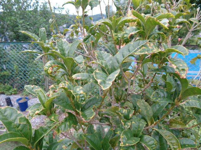 きんもくせいの葉がこんなになっています。 原因は何ですか? 対処法はありますか?