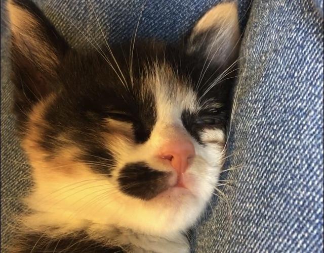 子猫が半目で眠るのは、周囲を警戒しているからでしょうか? 生後1ヶ月の子猫を飼い始めて、1週間ほど経ちました。私が一番長い時間子猫に関わっているからか、私に一番心を開いてくれていると思います。 昨日から、ケージの外で遊び疲れると子猫が私の膝の上で寝るようになりました。「信頼してくれてるのかな!?」と思っていたのですが、どんな可愛い顔をしてるのかと子猫の寝顔の写真を撮って見てみたら、片目だけ半分開いていました。 画像はそのときに撮ったものです。分かりにくいかもしれませんが、下の方になっている子猫の左目が半目になっています。 これは、まだ警戒しているから少しだけ目を開けているのでしょうか?