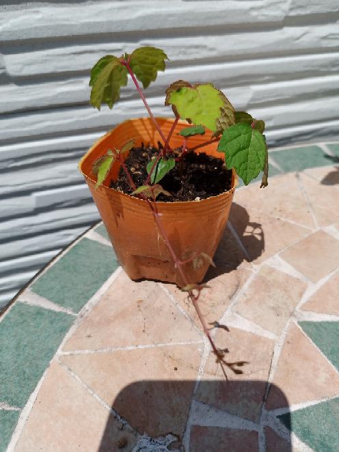 庭に生えていたので、ポットに植え替えてみましたがこの植物はなんでしょうか?