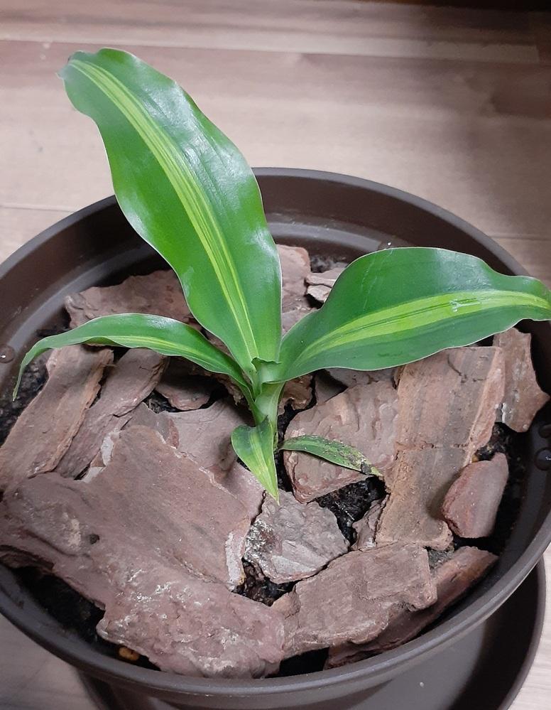 先日、ダイソーで観葉植物を買ったのですが… 名前がわかりません(。>д<) 色々調べたのですが結局わからず…。。 わかる方いらっしゃいますか!? 宜しくお願いします!
