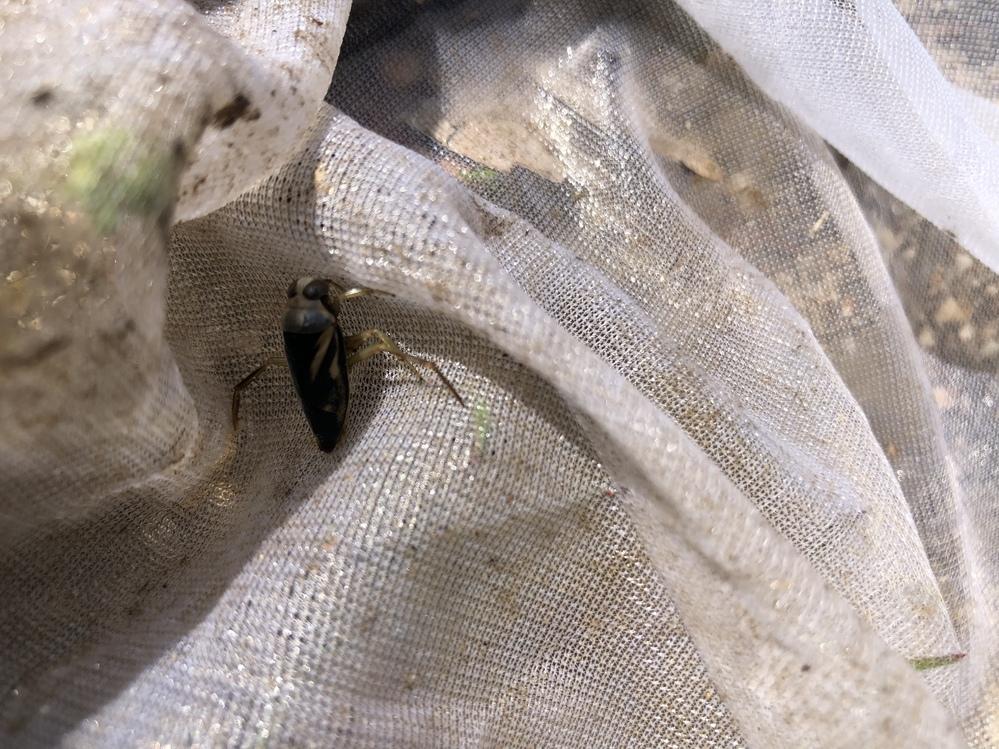 耕作放棄地にビオトープを作ったのですが、この水生昆虫が、たくさん生息しています。 ゲンゴロウっぽいのですが、何と言う虫でしょうか? 子供達に適当なことは教えたくないので、御教授下さい。 よろしくお願い致します。